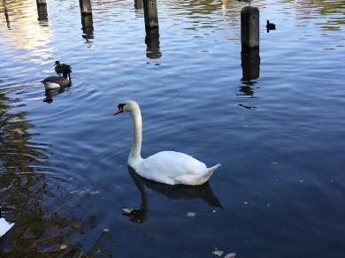 Round Pond e seus cisnes